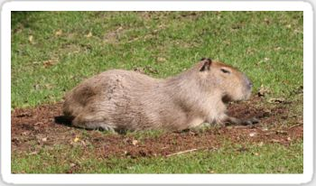 Sunbathing Capybara Stickers